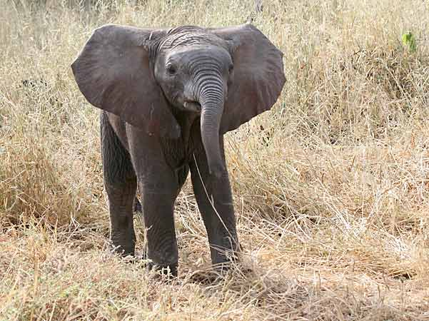 Inquisitive Baby Elephant with ears spread, Mashatu Game Reserve