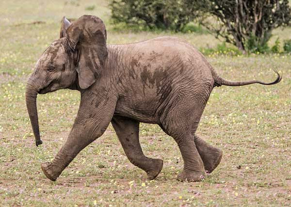 Elephant youngster running to join rest of herd