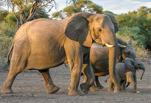 Elephant female with youngsters, Mashatu Game Reserve