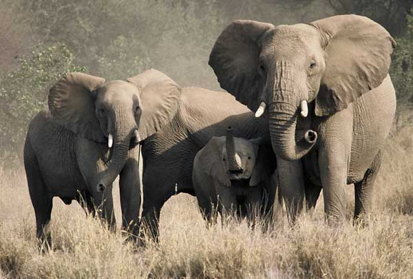 Elephant family grouping together in defensive formation