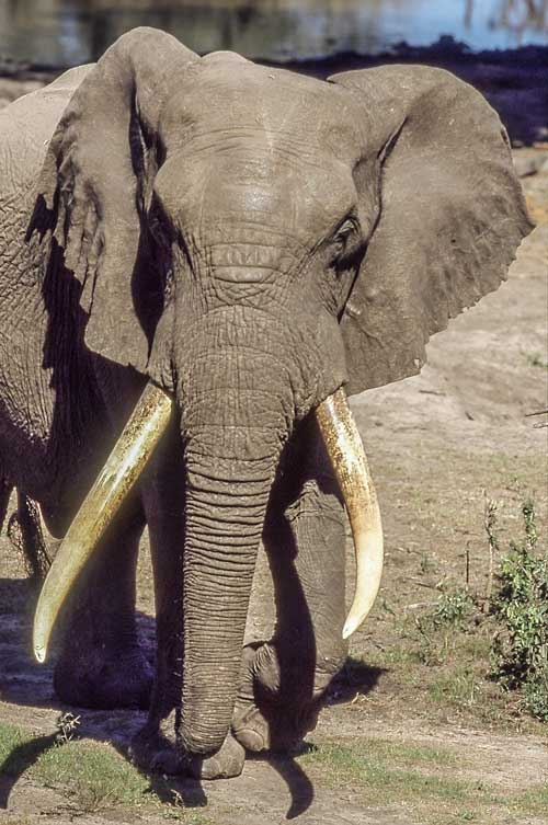 Elephant bull with huge tusks, close up