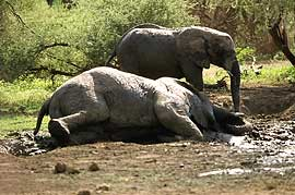 Elephant wallowing in mud