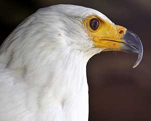 frican Fish Eagle close-up