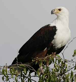 Fish eagle watching for prey from perch