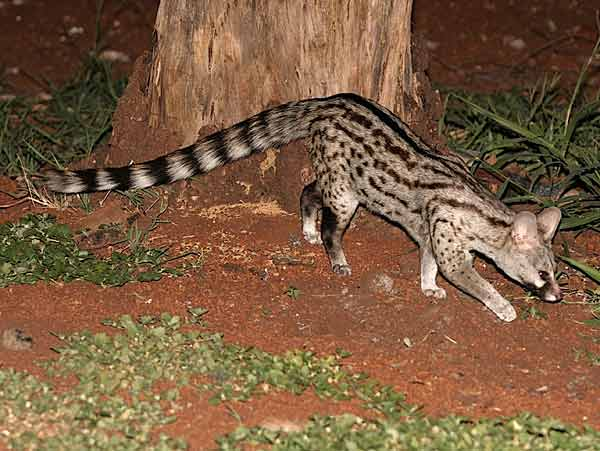 Small-spotted genet on the prowl