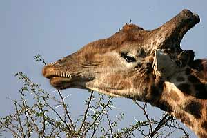 Giraffe feeding on thorny acacia tree