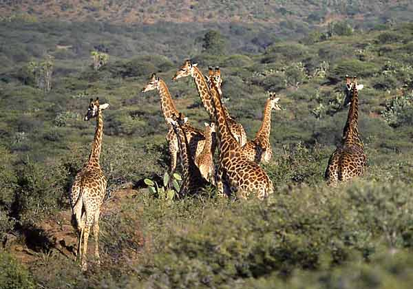 Giraffe group in hill country