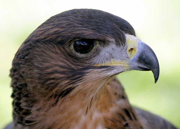 African Hawk Eagle, close-up