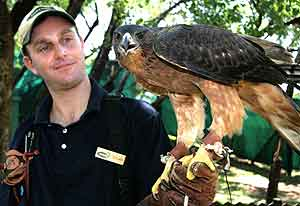 African hawk eagle with falconer
