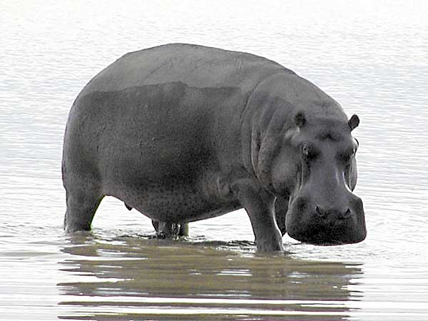 Hippo in shallow water staring belligerently