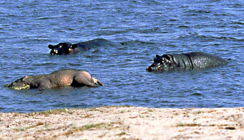hippos approaching