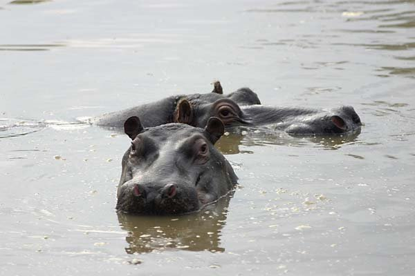 Hippo Pair in water