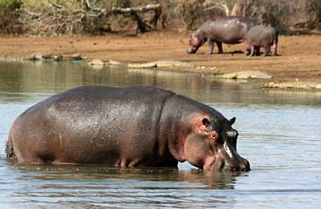 Hippo and crocodiles, Kruger National Park, South Africa