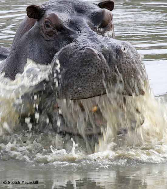 Hippo breaching surface