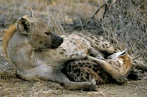 Spotted hyena mother suckling her pup