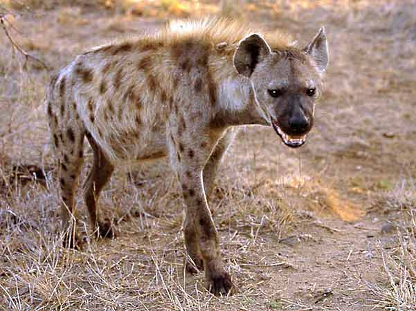 Hyena on morning patrol, Kruger National Park