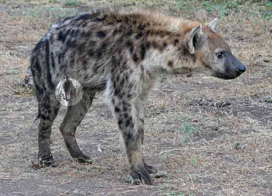 Female hyena showing enlarged clitoris