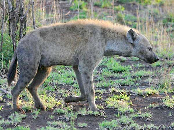 Hyena on early morning walk