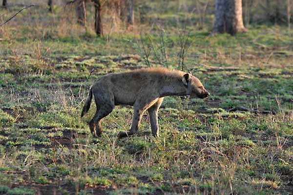 Spotted Hyena, side view
