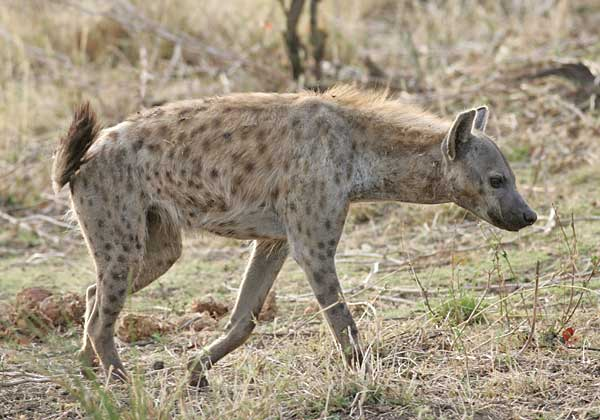 Spotted hyena on the move, Kruger National Park