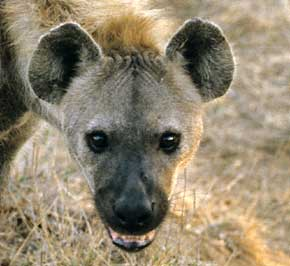Spotted hyena close-up of head