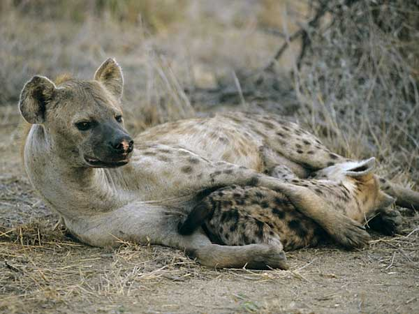 Hyena suckling her young