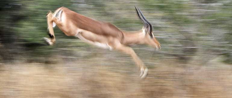 Impala ram leaps high in air, Kruger National Park