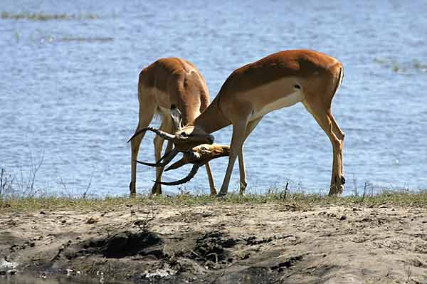 Impala rams sparring