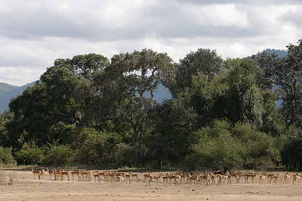Impala herd on edge of forest
