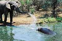 Pic of elephant with hippo
