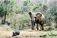 Pic of elephant with baby hippo