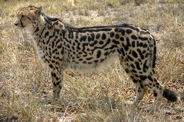 King Cheetah standing side on