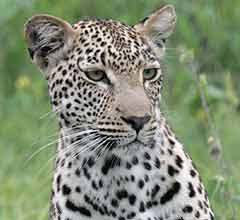 Leopard white underparts