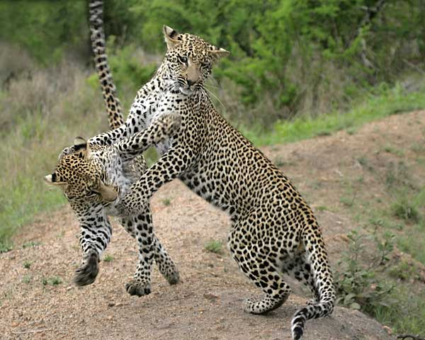 Young leopards practise hunting skill, Sabi Sand Game Reserve