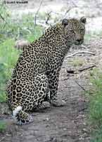 Leopard Looking Back