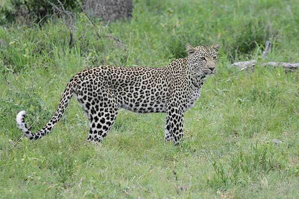 Leopard stading side-on in green grass