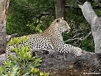 Leopard Lounging on Tree Stump