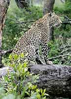 Leopard Seated on Tree Stump