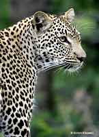 Leopard Close-Up, Side View