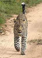 Leopard Walking, Front-on View