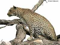Leopard sitting on tree branch
