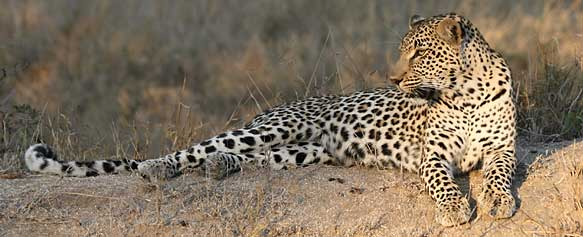 Leopard in late afternoon light