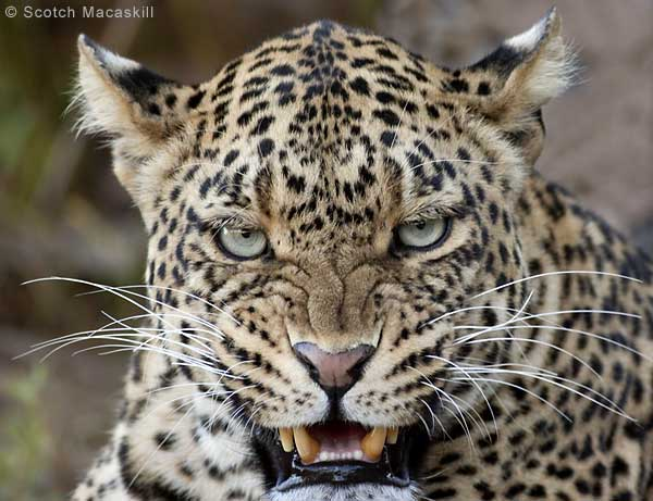 Leopard snarling and baring its teeth, close-up