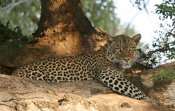 Leopard relaxing in mashatu tree