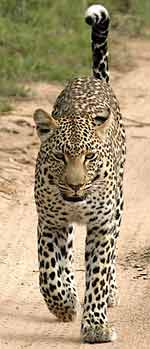 Leopard with white-tipped tail