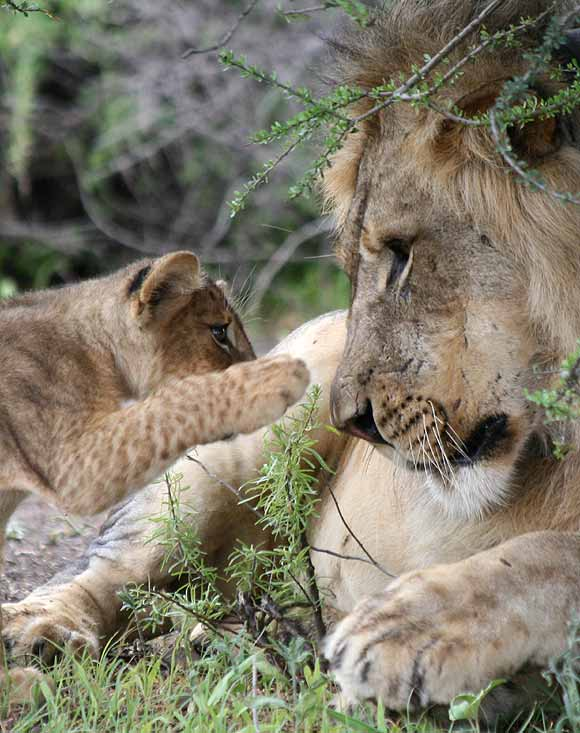 Lion cub reaching out to male lion