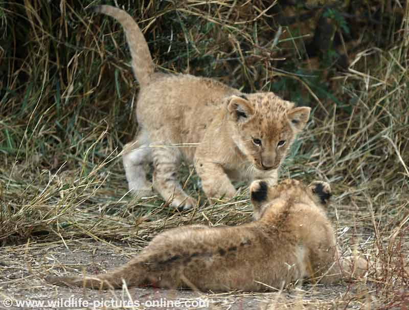 Lion cubs getting ready to play fight, Mashatu Game Reserve, Botswana
