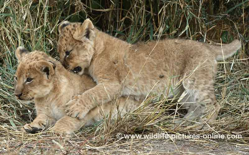 Lion cub biting another on the neck in play fight, Mashatu Game Reserve, Botswana