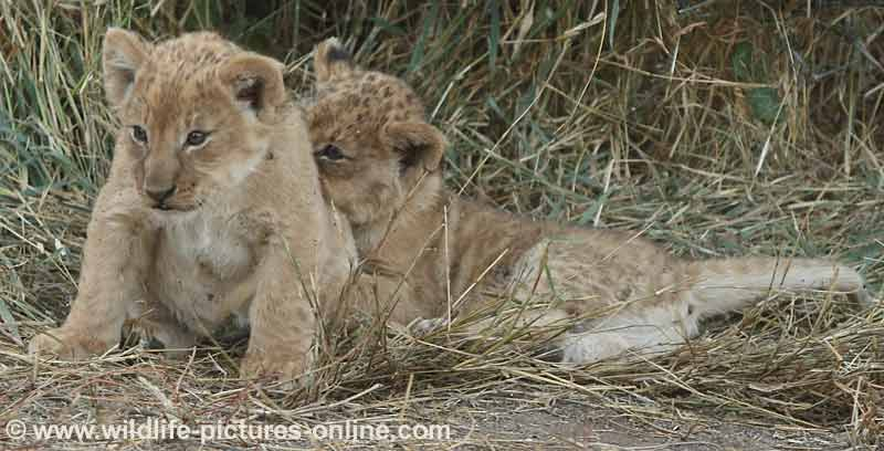 Lion cub trying to get away from sibling, Mashatu Game Reserve, Botswana