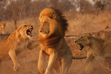 Female lions attacking male lion, Sabi Sand